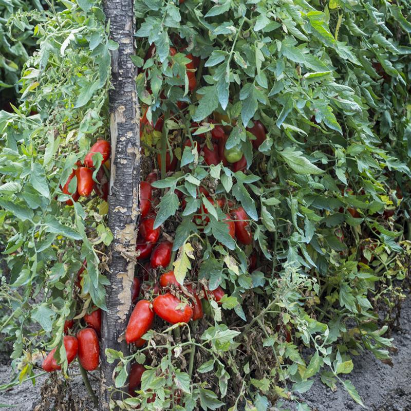 San Marzano Plant