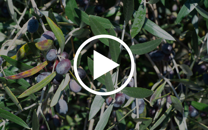 Cento Olive Oil